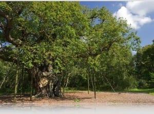 Major Oak - la leggendaria quercia di Robin Hood